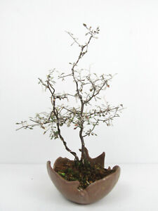 Bonsai Zick-Zack-Strauch Corokia cotoneaster Kalthausbonsai Gesamthöhe 34cm
