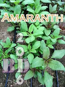 Amaranth - Green Giant Calaloo - Approx 1200 Seeds - 2g - Health Strong Food_128