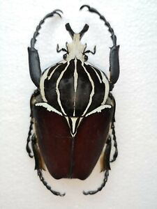 Goliathus goliatus, scarce species from Cameroon, 92-93mm, Goliath flower beetle