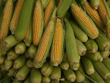 Sweetcorn Seeds - SENECA CHIEF - Canadian - Golden Yellow Kernels - 5 lbs. Seeds