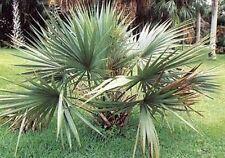 Saatgut dekorative Pflanzen Samen Garten Palme SABAL MINOR Sämereien