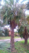 jeune brahea brandegeei 2 à 3 feuilles