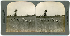 Stereo, Stereo Travel Co., Gleaners, wheat field near Paestum, Italy Vintage ste