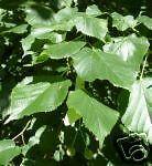 Tilia cordata LITTLELEAF LINDEN TREE Seeds!