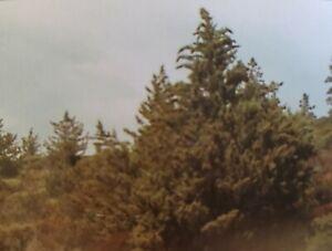🌲30+ FRESH Tecate Cypress Seeds