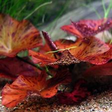 Nymphaea Rubra Bulb Red Loose B2G1 Easy Live Aquarium Plant Decorations Beginner