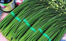 1g (appr.300) garlic chives seeds ALLIUM TUBEROSUM Chinese chives, Chinese leek