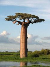 Samen für Baobab Riesen-Baum Affenbrotbaum  *ausgefallen & selten* 5 Stück
