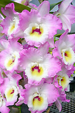 "Nobile Dendrobium Sweet Pinky 'Love' in 2""Pot ~Blooms Next year~"