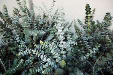100Pcs Eucalyptus Seeds Tree Shrubs Plants Rare Types Heirloom in Home Garden