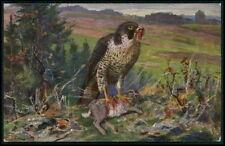 falcon bird eating a Rabbit original old c1910s postcard