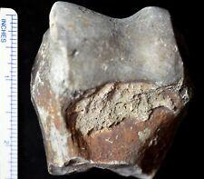 Subhyracodon Humerus Distal, Fossil, Rhinoceros, Badlands, South Dakota, R643