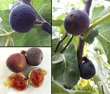 200 Semi Ficus Carica Fico Brogiotto Nero Italian Black Fig Tree seeds