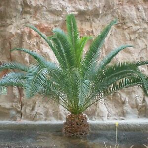 2 Large Tropical Phoenix Canariensis Palm Tree Potted Canary Island 1m Tall