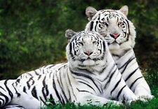 WHITE BENGAL TIGERS * QUALITY CANVAS ART PRINT