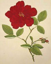 1801 Die Rosen (Les Roses) hand-coloured plate, Carl Gottlob Rossig, Purple Rose