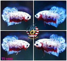 New listing [Ti-2562] Live Betta Fish High Quality Hmpk Male Bloody Blue Galaxy Koi