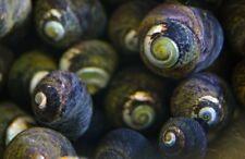 Black Margarita Snail Slime / Hair Algae Eater Clean Up Crew