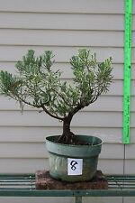 Large Old Parsoni Juniper Pre Bonsai Tree #8