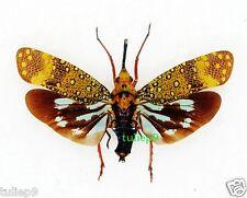 Lanternfly/Saiva gemmata - Wang Chin Phrae, Northern Thailand