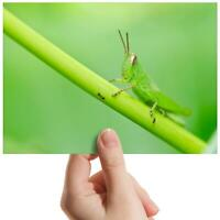 """Green Grasshopper Bug Insect Small Photograph 6""""x4"""" Art Print Photo Gift #14128"""