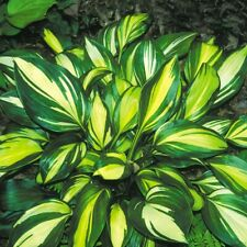 "hosta Rainbow'S End small shiny disease-free 2.5"" pot = 1 Live Potted Plant"