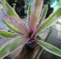 BROMELIAD Neoregelia Skotak's GRAPEADE Beautiful Refreshing Medium Grower!