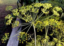 Heritage Dill 20 Seeds Easy To Grow In Various Soil Types, Wow Delicious!