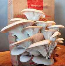 Pilzpaket graue Austernseitlinge Austernpilz Pilzzuchtset Pilzbrut Pilze züchten