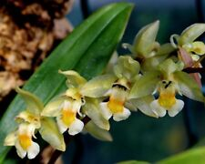 Chelonistele sulphurea Sulphur Yellow Orchid Fragrant Coelogyne Rare Houseplant
