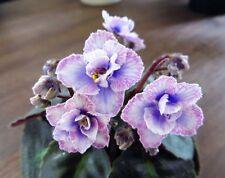 ☘ PERSIAN LACE ☘ SEMI-MINI ☘ African Violet Plant Saintpaulia ☘ Starter Plug