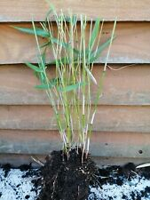 Bamboo FARGESIA RUFA LIVE Plant Bamboo LARGE CLUMP 5-6 stems