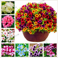 100 PCS Seeds 16 Colors Geranium Plants Perennial Garden Flowers Bonsai Potted B
