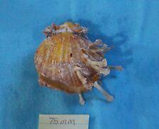 Spondylidae Spondylus, sp. (uncertain species) Okinawa 75mm Gold-Brown