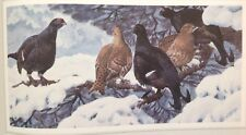 Black Grouse Vintage Print By Tunnicliffe Beautiful Birds Can Be Framed