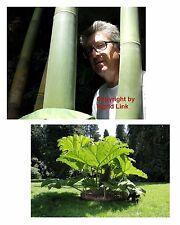 Zwei Riesen-Giganten: der Monster-Bambus und das Riesen-Mammutblatt.