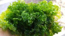Baseball Size Ulva Lactuca Sea Lettuce Marine Macro Algae Plant Reef Refugium