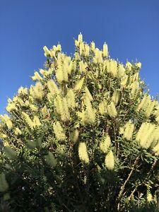 RARE CALLISTEMON PALIDUS BOTTLEBRUSH YELLOW FLOWERS LARGE 2 LITRE POTS PLANTS