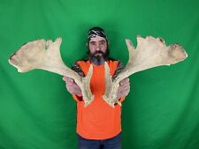 Huge Palmated Whitetail Deer Shed Antlers Moose Horn Taxidermy Mount Buck Bull