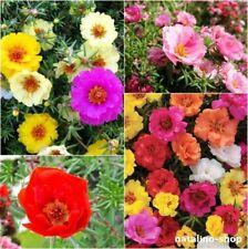 Portulakröschen Gefüllter Mix 200+ Samen *Auch für Balkon *Portulaca Grandiflora