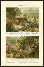Antique Prints-BEACH-PLANTS-MEDITERRANEAN-Meyers-1900