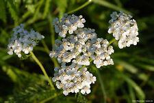 Schafgarbe 600 Samen - Achillea Millefolium - Heilpflanze - Ziehrpflanze 001407