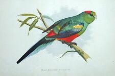MANY COLOURED PARRAKEET Australia original Greene antique parrot print 1884
