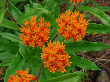 New listing Butterfly Weed Flower Seeds - Bulk *