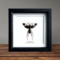 XL Tarantula Hawk Wasp (Hemipepsis) Huge specimen insect in Box Frame Taxidermy