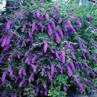Purple Butterfly Bush Black Knight Buddleia Davidii Perennial Starter Bush