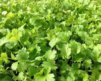 *Koriander Samen, Koriander Saatgut Coriandrum sativum, Cilantro seeds