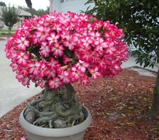 Adenium: Desert Rose Seeds 35 Ct Houseplant