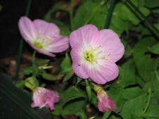 Showy Pink Primrose Flower- Perennials