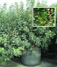 Mittelmeerflair für den Balkon :  Frostharter Atlantischer Pistazienbaum / Samen